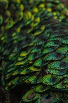 Penas de pavão