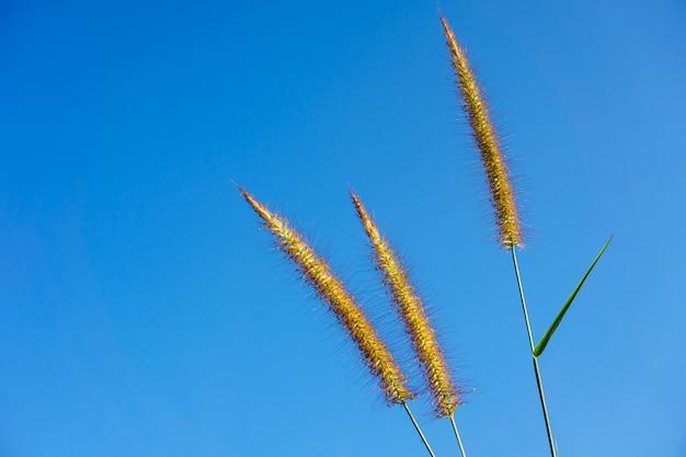 Pennisetum polystachyon schult, flor suave com céu azul