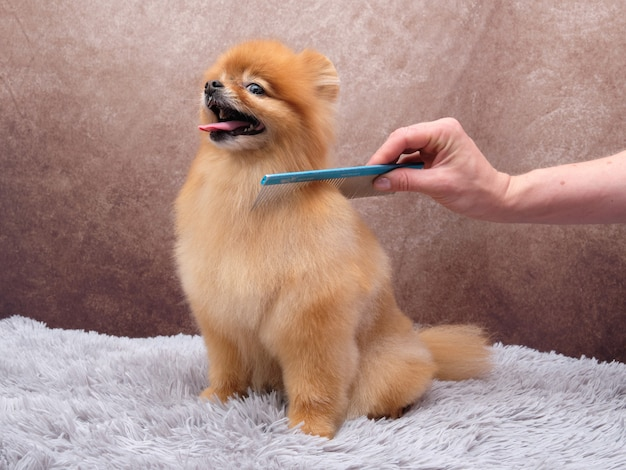 Pentear cães para cuidar do cabelo da pomerânia. um lindo cachorro senta-se em um tapete cinza e gosta de cuidar de seu pelo.