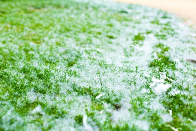 Penugem de choupo em um gramado verde. alergia.