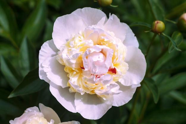 Peônia branca e rosa delicada com um núcleo amarelo.