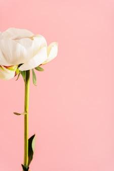 Peônia closeup no fundo rosa com espaço. cartões de layout para casamento, dia das mães, 8 de março, dia dos namorados.