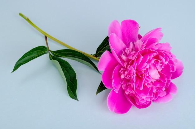 Peônia cor-de-rosa deliciosa na cor brilhante.