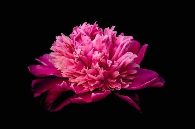 Peônia de flor rosa contra o fundo escuro.