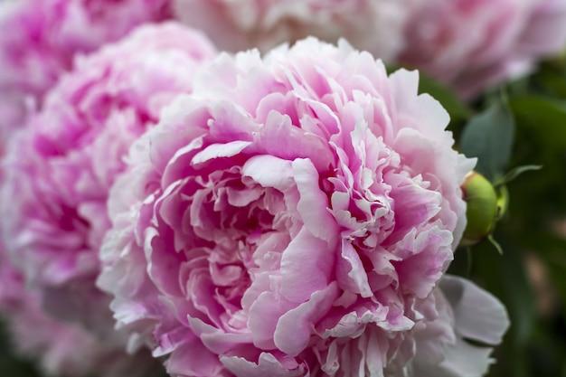Peônia de florescência do rosa do arbusto no jardim.