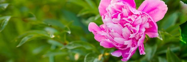 Peônia georgeous em plena floração. peônia do jardim. botão de peônia rosa na vegetação. conceito de jardinagem. linda flor de peônia delicadamente rosa e branca e delicadamente florida no jardim com flores roxas de lavanda