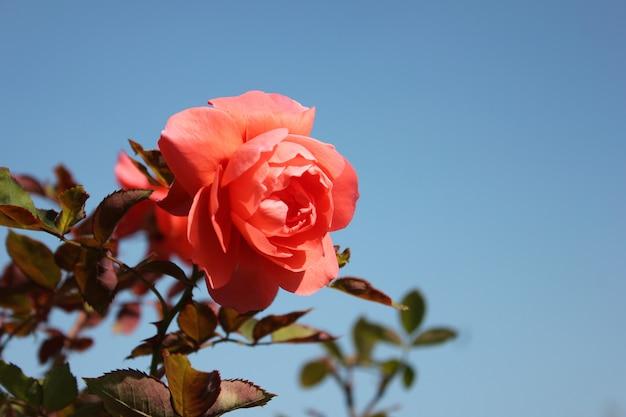 Peônia ou flor rosa