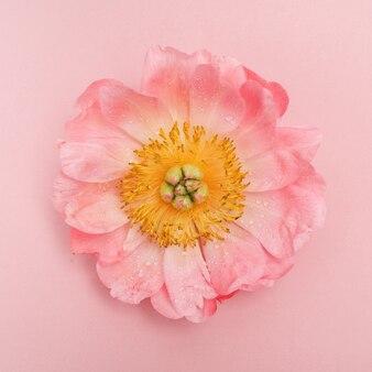 Peônia rosa com gotas de água vista superior Foto Premium