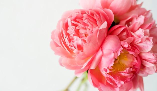 Peônia rosa em um fundo branco