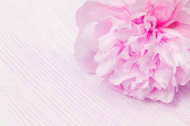 Peônia rosa flores close-up, pétalas delicadas no fundo desfocado de madeira. foco seletivo suave.