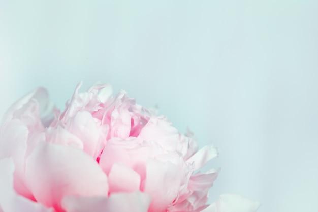 Peônia rosa florescendo em um fundo azul suave. fundo florido natural com espaço de cópia