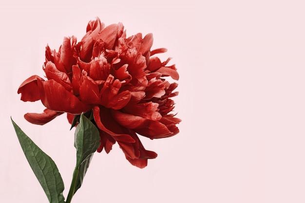 Peônia vermelha brilhante sobre fundo rosa. flor de peônia. cartão holiday com espaço de cópia.
