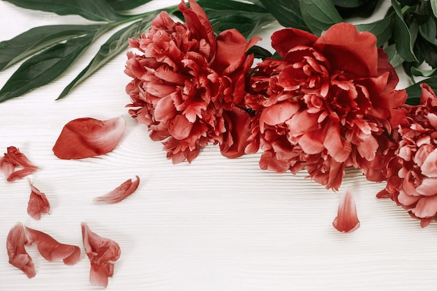 Peônia vermelha. flores desabrochando de peônias. peônias de borgonha no fundo de madeira branco. foco seletivo.