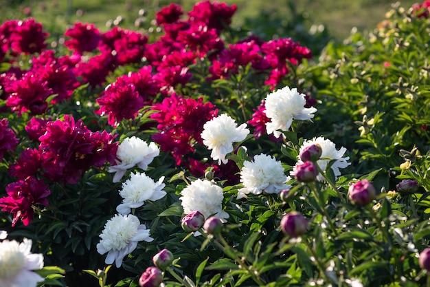 Peônias brancas e rosa no jardim