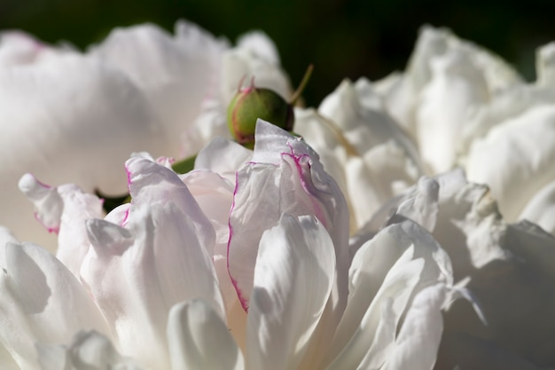 Peônias brancas florescendo no verão