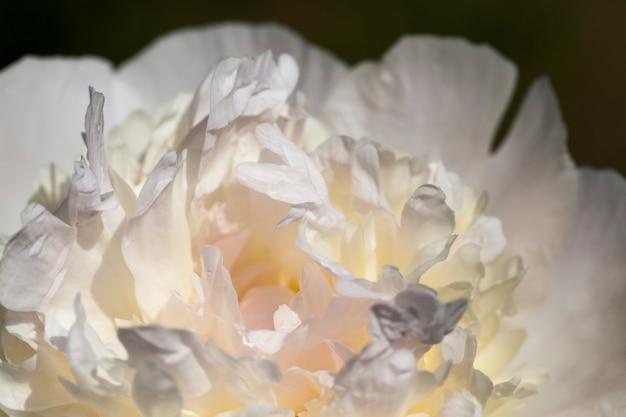 Peônias brancas que florescem no verão, plantas com flores para decorar o território