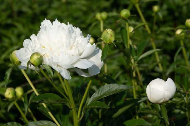 Peônias da flor-de-rosa que florescem em flores cor-de-rosa do fundo.