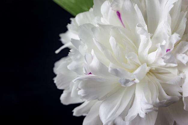 Peônias de flores brancas