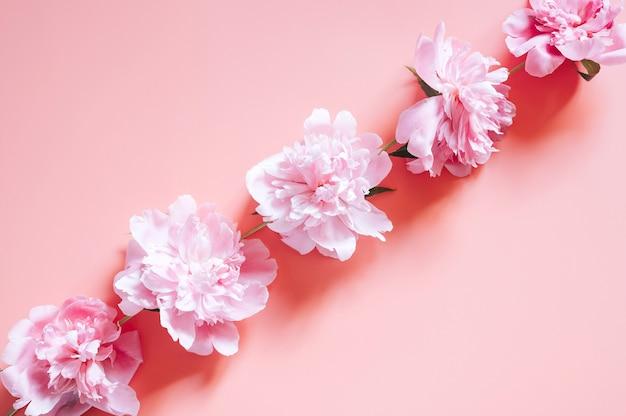 Peônias em um fundo rosa vibrante