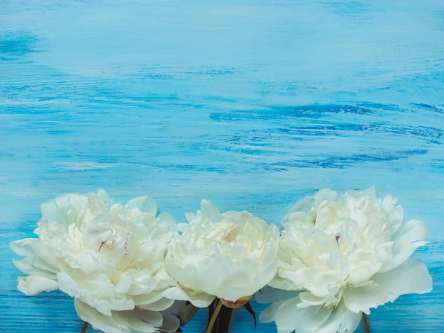 Peônias, espaço para suas inscrições em um fundo azul