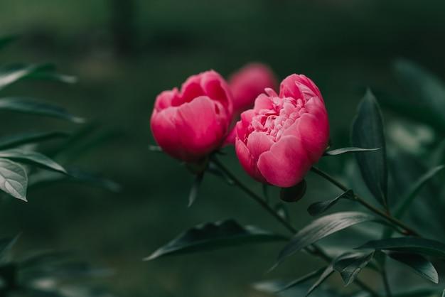 Peônias lindas rosa florescendo no jardim. conceito de primavera.