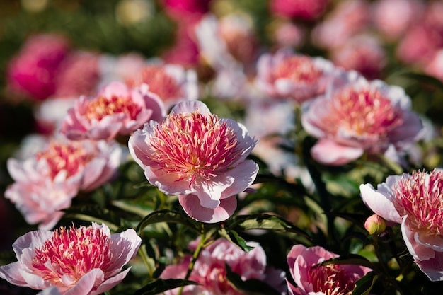 Peônias rosa e brancas no jardim