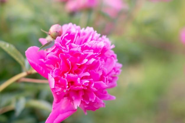 Peônias rosadas exuberantes na parede desfocada do canteiro de flores verde.no verão de um dia nublado, a peônia no chinese peony garden.copy space