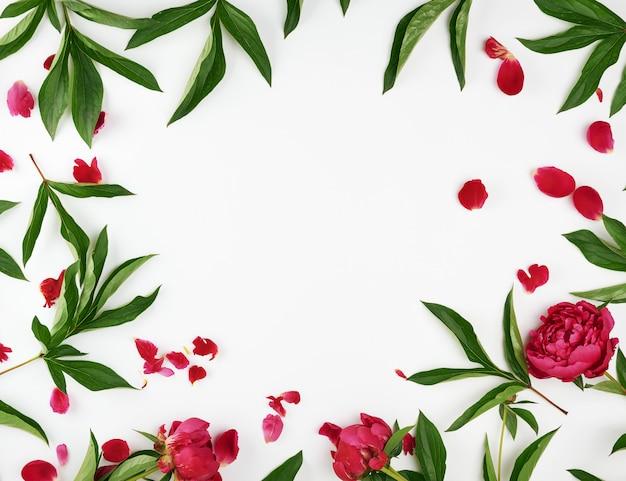 Peônias vermelhas de florescência com folhas verdes