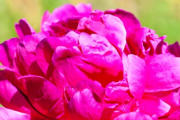 Peônias vermelhas florescendo no verão