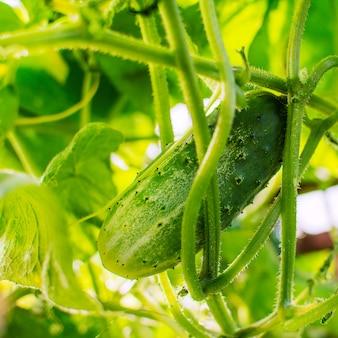 Pepino crescendo na praça do jardim