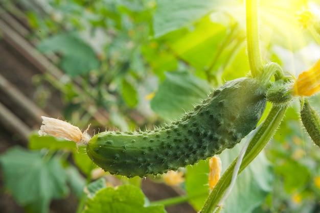 Pepino crescendo no jardim
