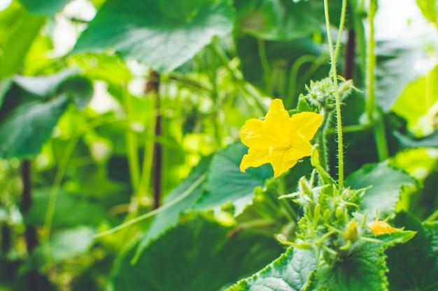 Pepino florescendo crescendo em um galho em estufa em uma plantação de pepino. fundo natural de alimentos orgânicos