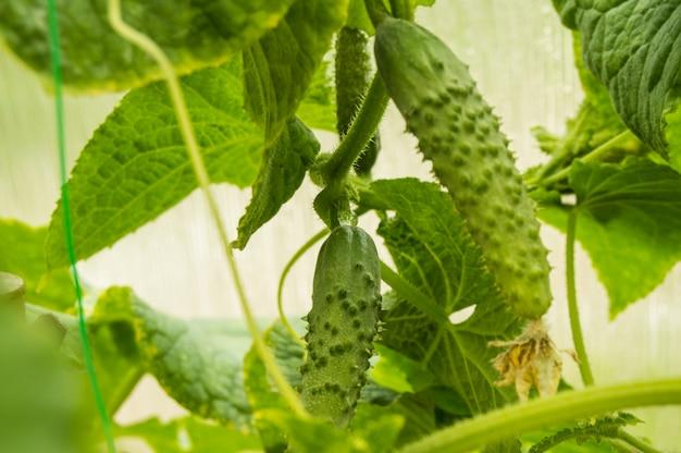 Pepino jovem pendurado na planta, cultivo de vegetais saudáveis na estufa