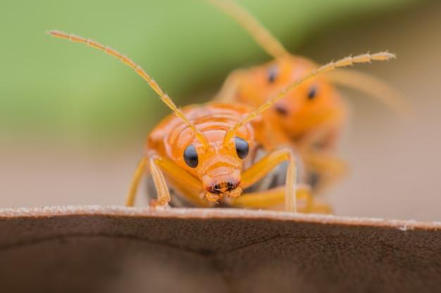 Pepino ou besouro cucurbit