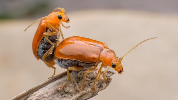 Pepino ou cucurbit besouro acasalamento na filial