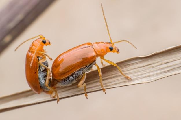 Pepino ou cucurbit besouro acasalamento na folha seca