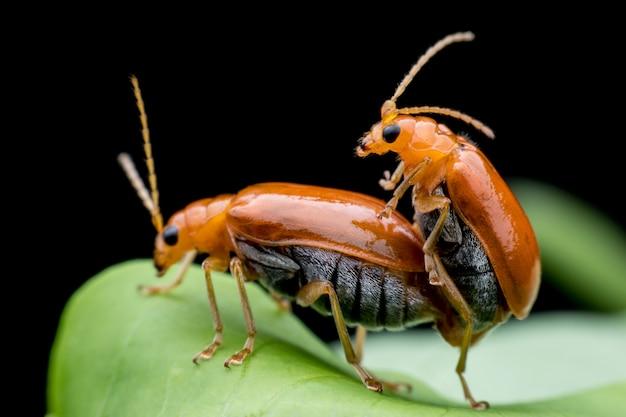 Pepino ou cucurbit besouro acasalamento na folha verde
