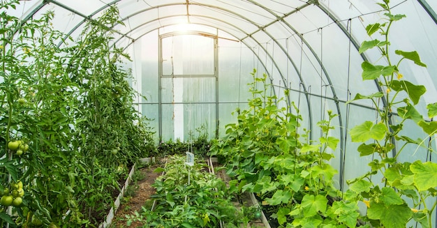 Pepinos e tomates crescem em um arco solar moderno com efeito de estufa de policarbonato, luz solar através de paredes transparentes, o conceito de cultivo em um terreno fechado