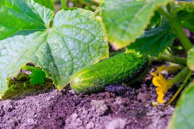 Pepinos no galho. colheita. legumes cultivados. vegetais não ogm.