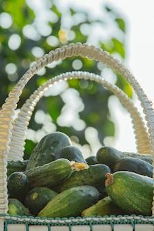 Pepinos orgânicos frescos em uma cesta em uma mesa de madeira no jardim. alimentação saudável legumes na salada. boa colheita. fechar-se.