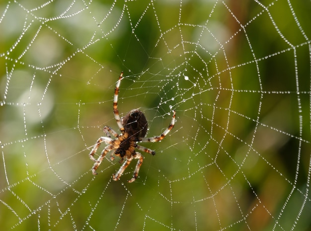 Pequena aranha em sua teia em uma manhã de verão com gotas de orvalho