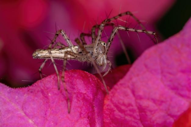 Pequena aranha lince do gênero peucetia