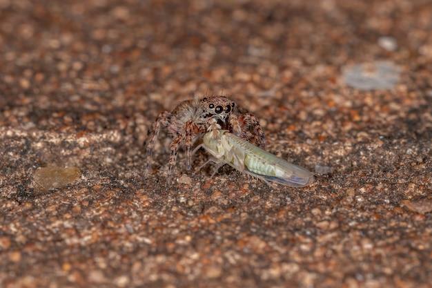 Pequena aranha saltadora da espécie marma nigritarsis atacando uma cigarrinha típica da família cicadellidae
