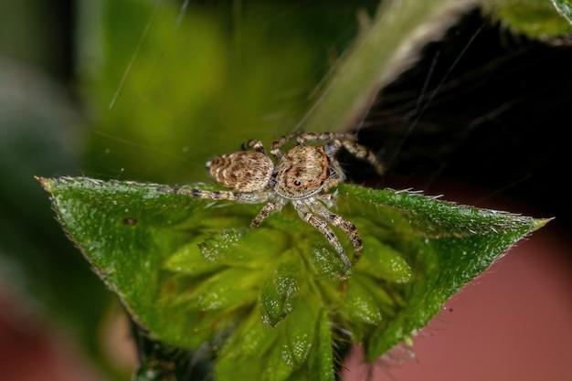 Pequena aranha saltadora da subtribo dendryphantina