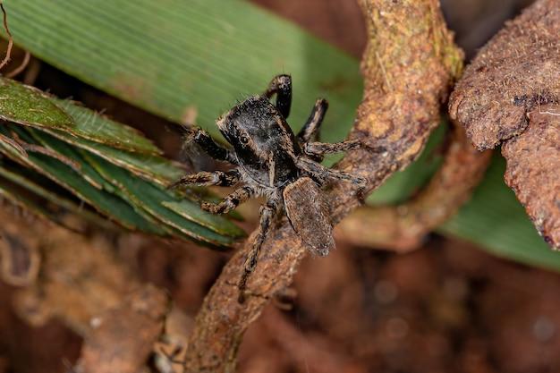 Pequena aranha saltadora da subtribo freyina