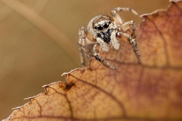 Pequena aranha saltadora em folha translúcida de outono