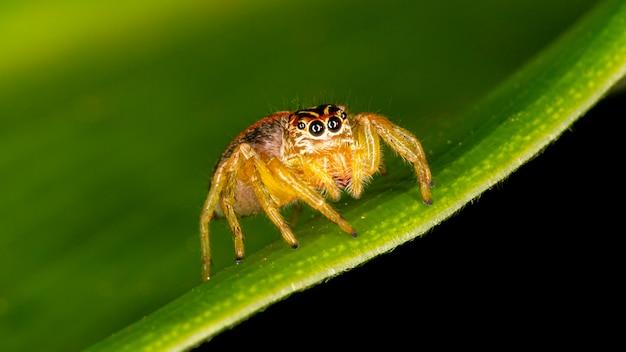 Pequena aranha saltadora na folha verde.