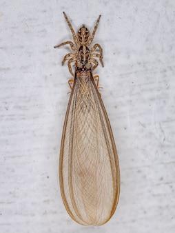 Pequena aranha saltadora pantropical da espécie plexippus paykulli atacando um cupim