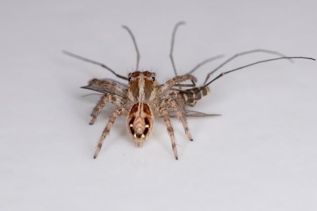 Pequena aranha saltadora pantropical da espécie plexippus paykulli atacando um mosquito culicino adulto do gênero culex