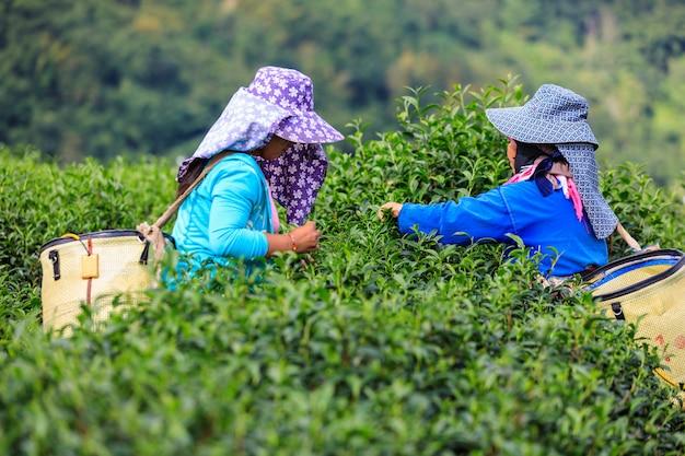 Pequena área de chá verde na montanha e agricultor colina tailandês